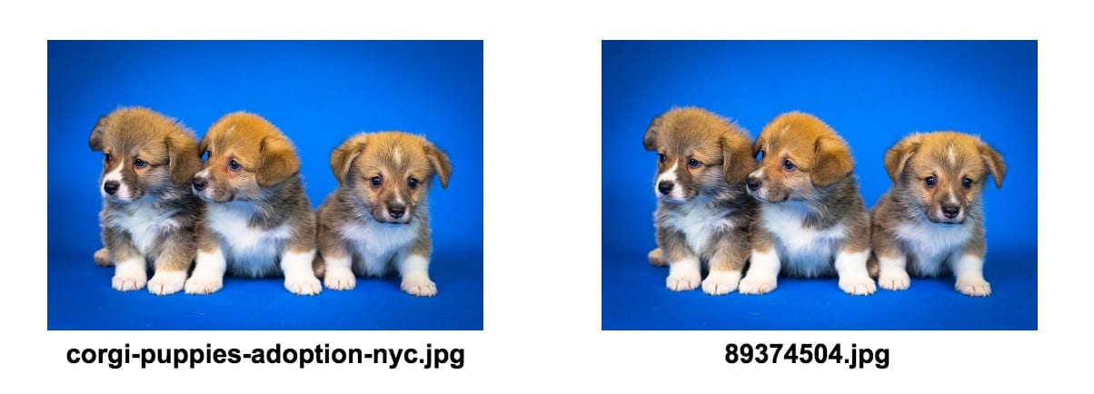 corgi puppies file name